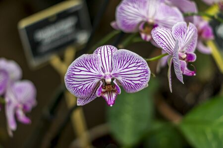 white pink striped orchid phalaenopsis