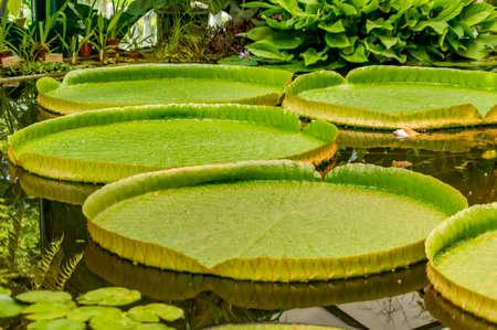 巨型睡莲离开维多利亚amazonica