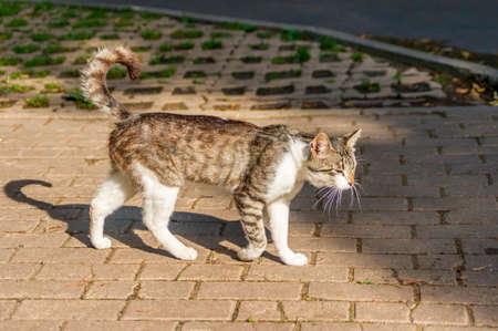 wild cat walking sidewalk