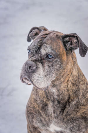 old german boxer sitting on snow and looking on people. People reflex in dog's eyes