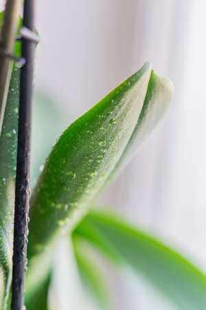 closeup of green leaf with water drops after spraying, orchid houseplant Stock Photo