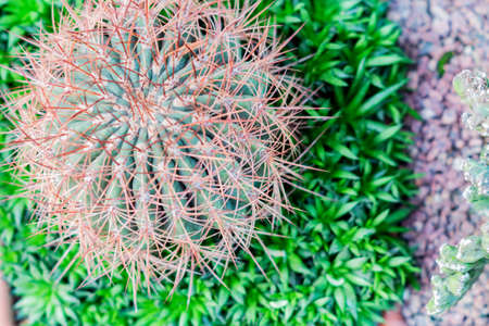 top view of round ball shaped cactus in botanical garden
