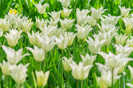fresh colorful blooming white tulips in the spring garden, selective focus Foto de archivo