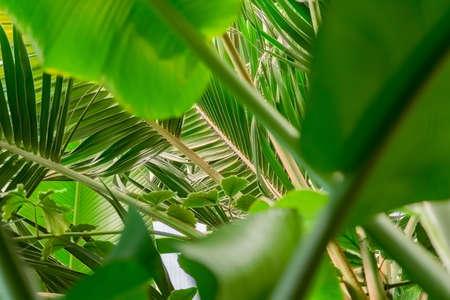banana palm leaves background, inside the jundgle