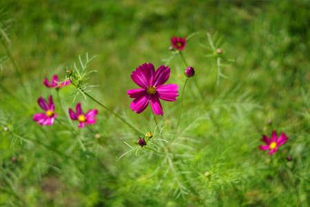 blooming violet cosmos flowers in the garden on green background. Reklamní fotografie