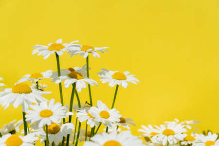 camomile flowers on a bright yellow background, copy space for text Foto de archivo