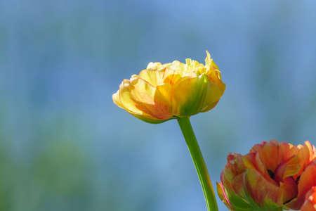 Close up of yellow tulips on blue background. Flower background. Summer garden landscape