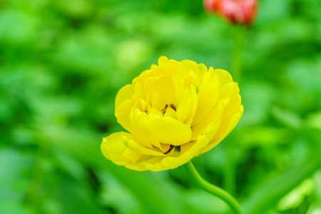 Close up of yellow tulip on green background. Flower background. Summer garden landscape Foto de archivo