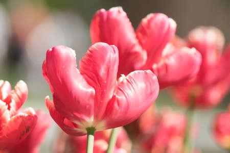 Close up of blooming pink tulip. Flower background. Summer garden landscape. Soft focus