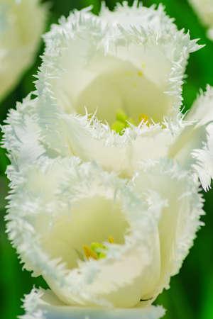 Close up of white tulip. Flower background. Summer garden landscape