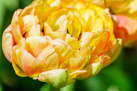 Close up of yellow tulip. Flower background. Summer garden landscape