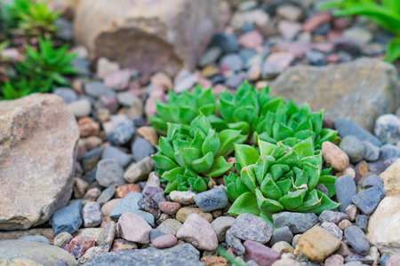 Succulents in desert botanical garden with sand stone pebbles background