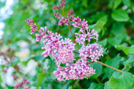 Blooming purple lilac. Spring vibes.