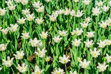 Field of white tulips. Flower background. Summer garden landscape
