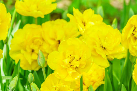 Field of yellow tulips. Flower background. Summer garden landscape