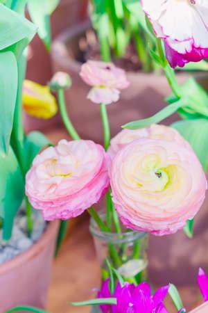 Ranunculus asiaticus or Persian buttercup. Blooming tender Pink flower.
