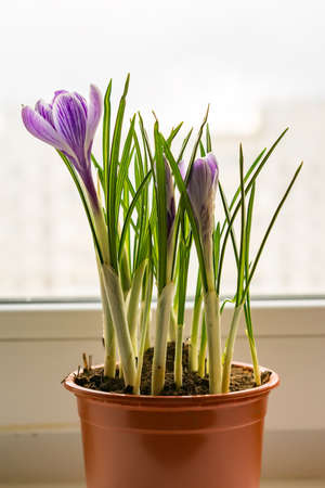 purple crocuses in plastic pot on window sill. Spring flowers, domestic gardening