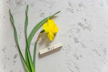 Yellow blooming narcissus flower and wooden bar with May inscription on gray textured background. Copy space. 免版税图像