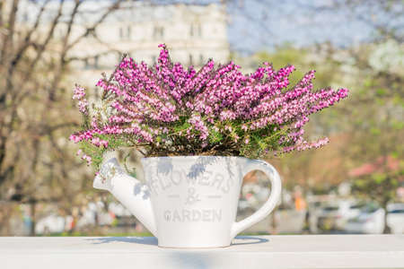 Beautiful blooming purple Erica darleyensis or heather in white ceramics pot in shape of watering can on white table. selective focus