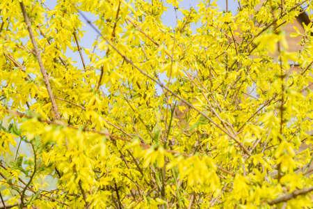 yellow blooming Forsythia bush background, selective focus 免版税图像