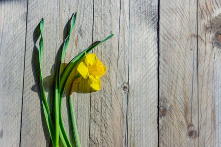 Yellow blooming narcissus flower on wooden background. Top view, Copy space. 免版税图像