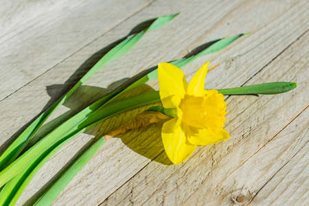 Close up of Yellow blooming narcissus flower on wooden background