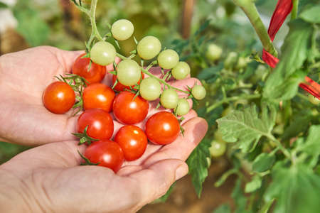 Female's hands harvesting fresh tomatoes in the garden in a sunny day. Farmer picking organic tomatoes. Vegetable Growing concept Banco de Imagens