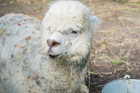 Portrait of dirty white alpaca at the farm