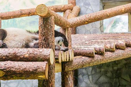 cute sleepingpanda in zoo. Wild animal 版權商用圖片