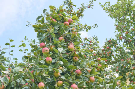 Red delicious apple. Shiny delicious apples hanging from a tree branch in an apple orchard