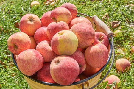 Metal bucket full of ripe delicious apples. Organic healthe food. Eco growing on fruits
