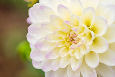 white dahlia flower with rain drops in the garden, soft focus