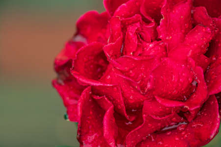 close up of blooming red rose after the rain. Water drops on petals and leaves.