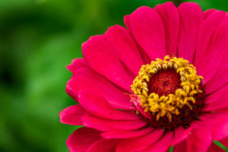 close up of blooming red zinnia flower soft focus