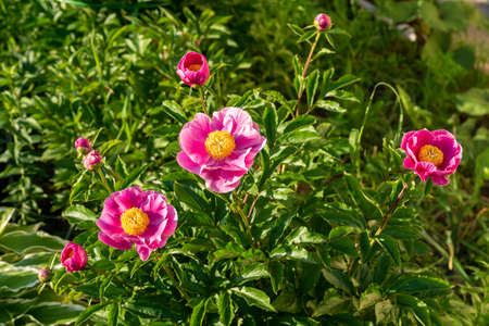 Pink blooming Peony bush in the garden.