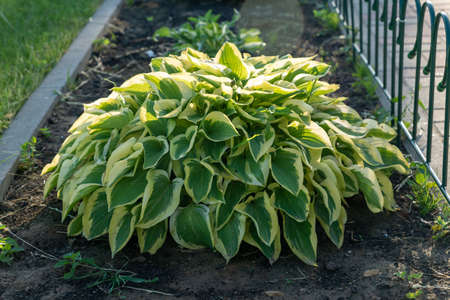 close up of young spring leaves of hosta plant with flower buds. Green fooliage background.