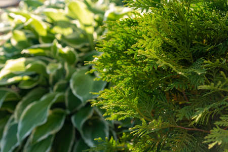 closeup of cypress tree branch in the garden. Banque d'images