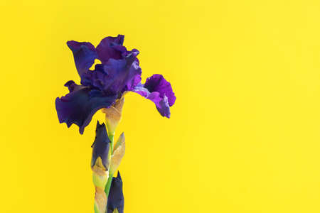 Beautiful blue iris flower on yellow background with copy space. Summer blossom.