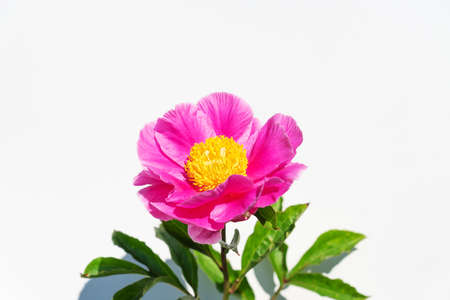beautiful pink peony flowers on white background. In full bloom concept Banque d'images