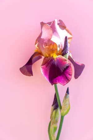 Beautiful blue iris flower on pink background. Summer blossom.