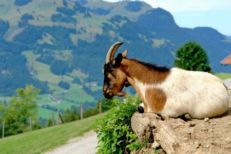 The young goat has a rest on the brink of breakage
