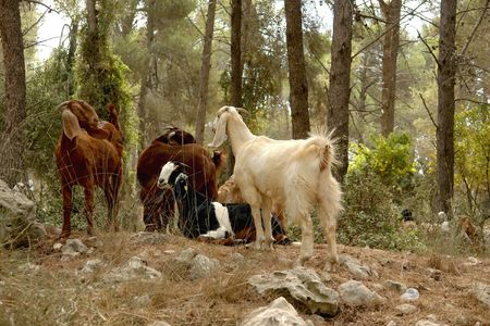 Goats are grazed in solar wood.                               Stock Photo