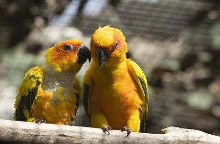 Two yellow parrots talking among themselves