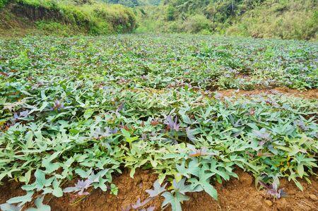 Sweet potato farm at Benguet, Philippines.