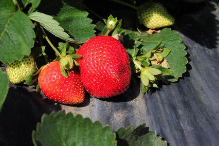 Ripe strawberry fruit ready to harvest