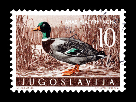 yugoslavia: Cancelled postage stamp printed by Yugoslavia, that shows wild duck, circa 1958.