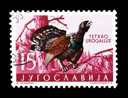 yugoslavia: Cancelled postage stamp printed by Yugoslavia, that shows The western capercaillie, circa 1958. Editorial