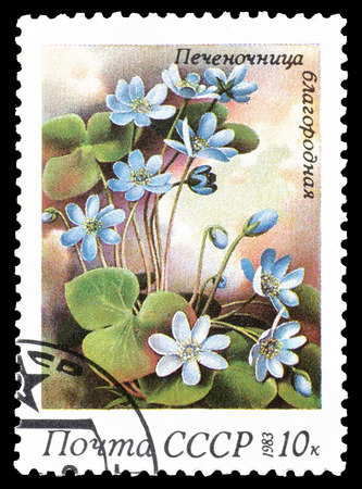 hepatica: Cancelled postage stamp printed by Soviet Union, that shows Common Hepatica, circa 1983.