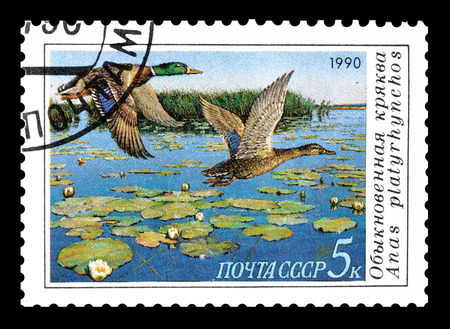 the ussr: Cancelled postage stamp printed by USSR, that shows Mallard, circa 1990.