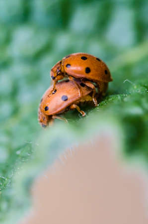 Lady bugs mating photo